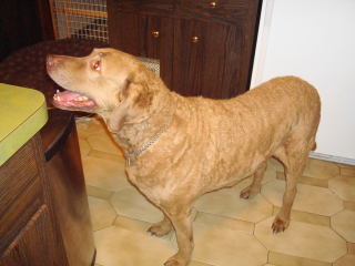 RUDI - Chesapeake Bay Retriever - Berkeley Heights