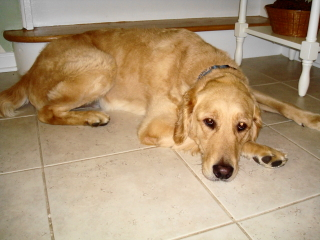 MAX - Golden Retriever - New Providence
