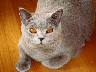 ROCKY- British Shorthair - Summit