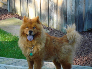 VICTOR - Chow Chow - Short Hills