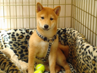 LEO - Sheba Inu - Berkeley Heights
