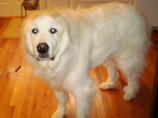 BEAU - Great Pyrenees - Chatham