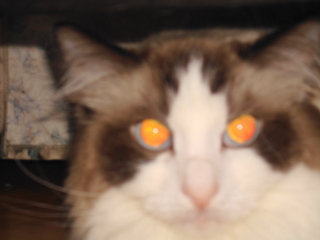 VIOLET - Ragdoll - Berkeley Heights
