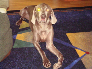 TABOO - Weimaraner - Berkeley Heights