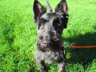 MAX - Scottish Terrier - Westfield