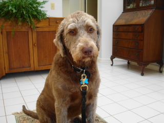 CODY - Labradoodle - Berkeley Heights