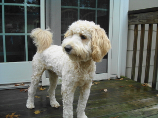 COLBY - Labradoodle/Poodle - Chatham