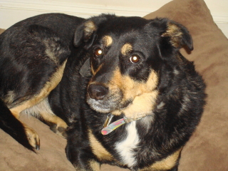 ROXIE - Rottweiler Mix - Chatham