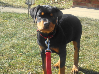 ROXIE - Rottweiler - New Providence