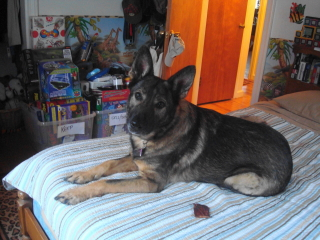 STAR - German Shepard - Gillete