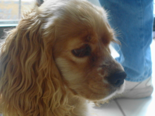 JULIA - Cocker Spaniel - Basking Ridge