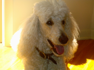 TYLER - Standard Poodle - Watchung