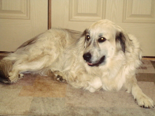LAYLA - Great Pyrenees Mix - Short Hills