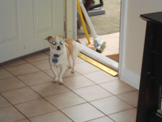 BUSTER - Chihuahua - New Providence