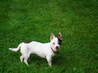 LUCKY - Jack Russell Terrier - New Providence