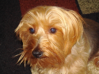 ELVIS - Silky Terrier - Chatham
