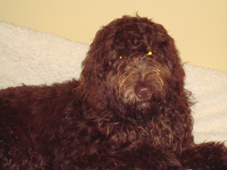 HENRY - Labradoodle - Summit