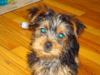 AMI - Yorkshire Terrier - Berkeley Heights