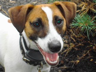 BUDDY - Jack Russell Terrier - Berkeley Heights
